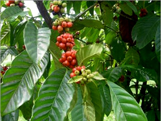 Coffea-Arabica-nana-320