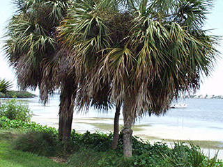 Sabal palmetto MSBG D19-1