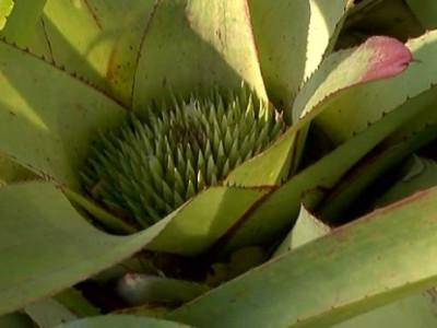 A Look at a Unique Tropical Plant